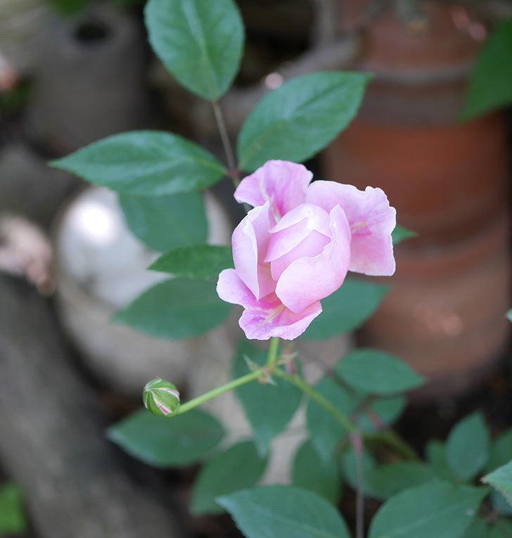 モーティマー・サックラー(ツルバラ)の花が咲いた。2019年-15.jpg