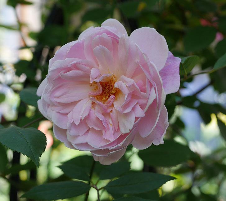 モーティマー・サックラー(ツルバラ)の花が咲いた。2019年-17.jpg