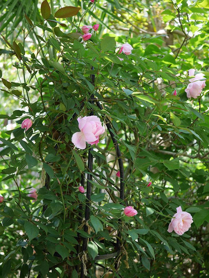 モーティマー・サックラー(ツルバラ)の花が咲いた。2019年-18.jpg