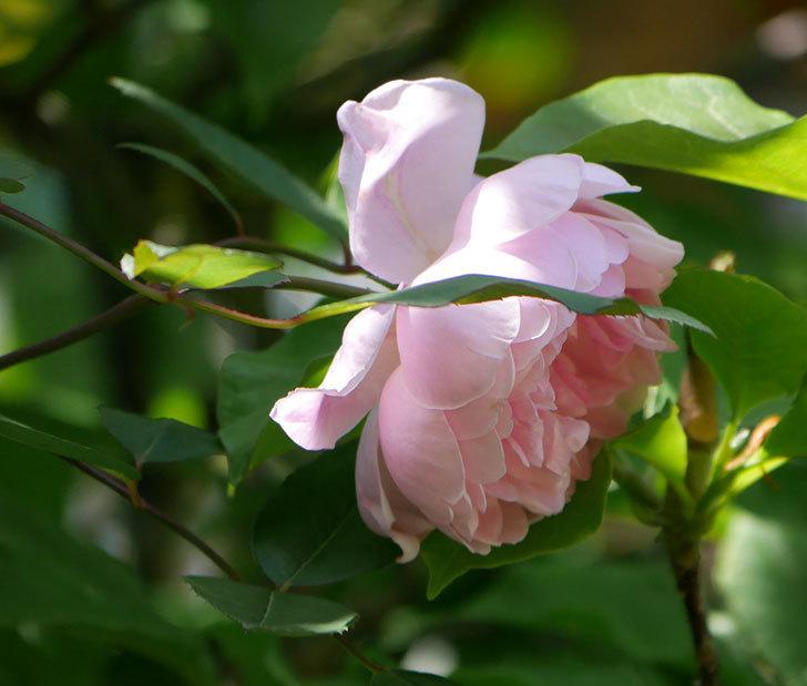 モーティマー・サックラー(ツルバラ)の花が咲いた。2019年-2.jpg