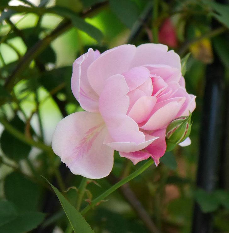 モーティマー・サックラー(ツルバラ)の花が咲いた。2019年-4.jpg
