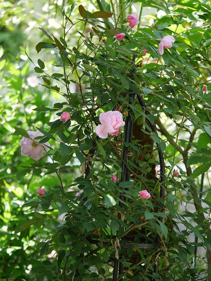 モーティマー・サックラー(ツルバラ)の花が咲いた。2019年-5.jpg