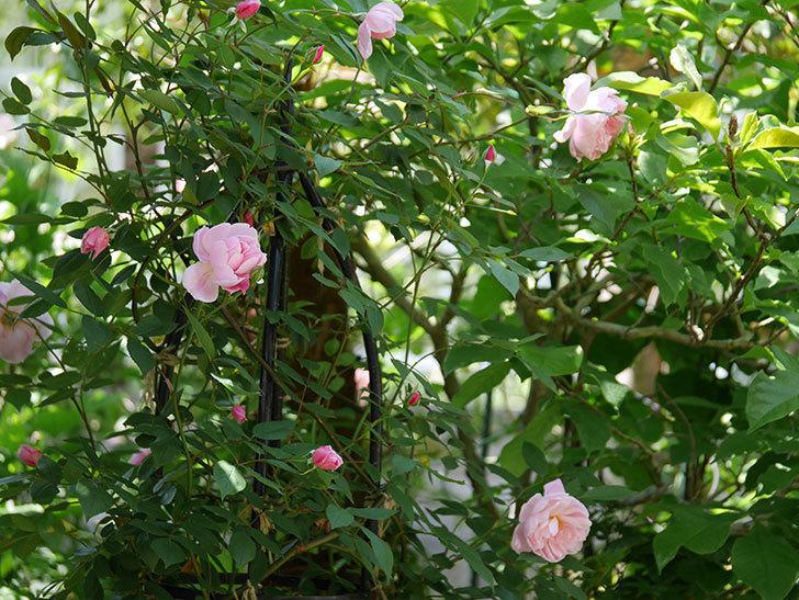 モーティマー・サックラー(ツルバラ)の花が咲いた。2019年-6.jpg