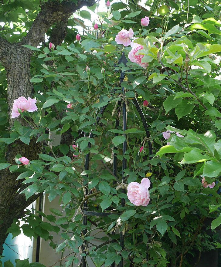 モーティマー・サックラー(ツルバラ)の花が咲いた。2019年-7.jpg