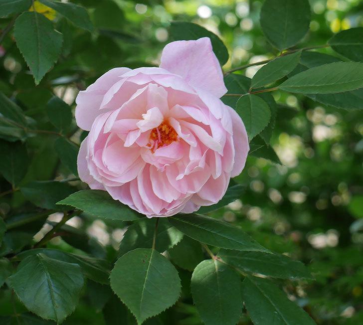 モーティマー・サックラー(ツルバラ)の花が咲いた。2019年-8.jpg