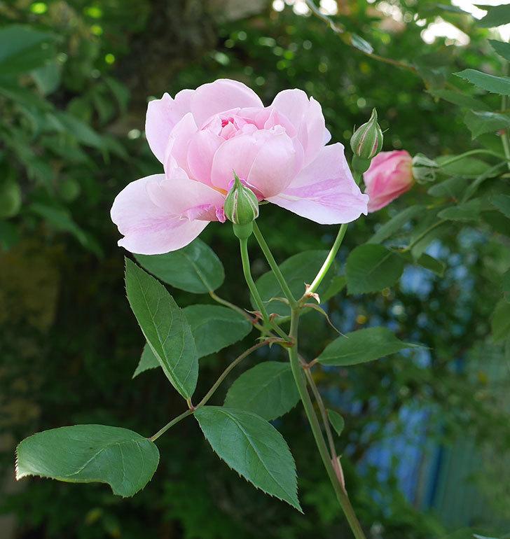 モーティマー・サックラー(ツルバラ)の花が咲いた。2019年-9.jpg