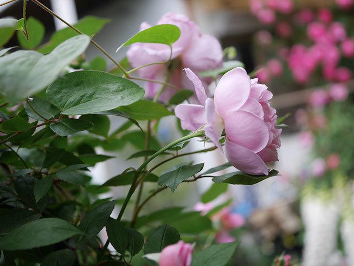 モーティマー・サックラー(ツルバラ)の花が咲いた。2020年-001.jpg