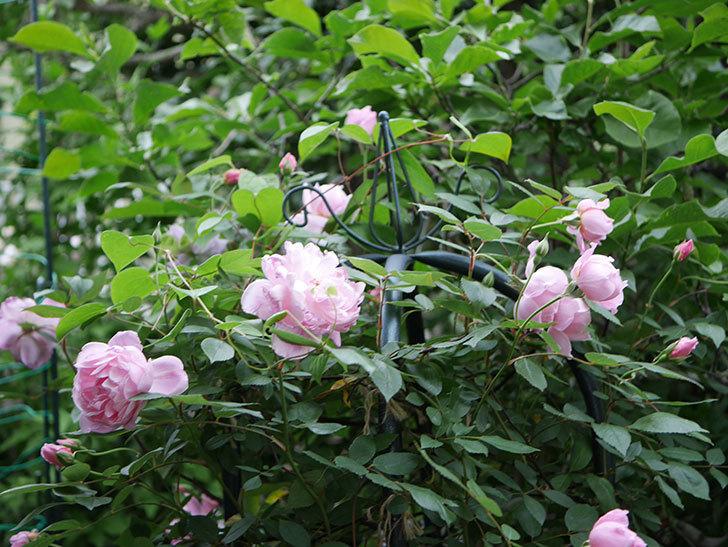 モーティマー・サックラー(ツルバラ)の花が咲いた。2020年-002.jpg