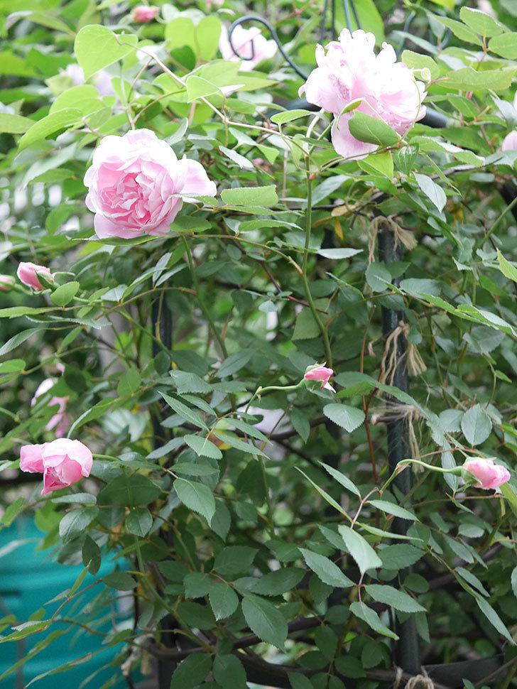 モーティマー・サックラー(ツルバラ)の花が咲いた。2020年-003.jpg