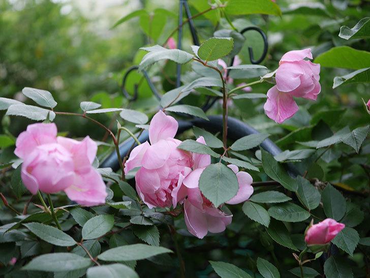 モーティマー・サックラー(ツルバラ)の花が咲いた。2020年-004.jpg
