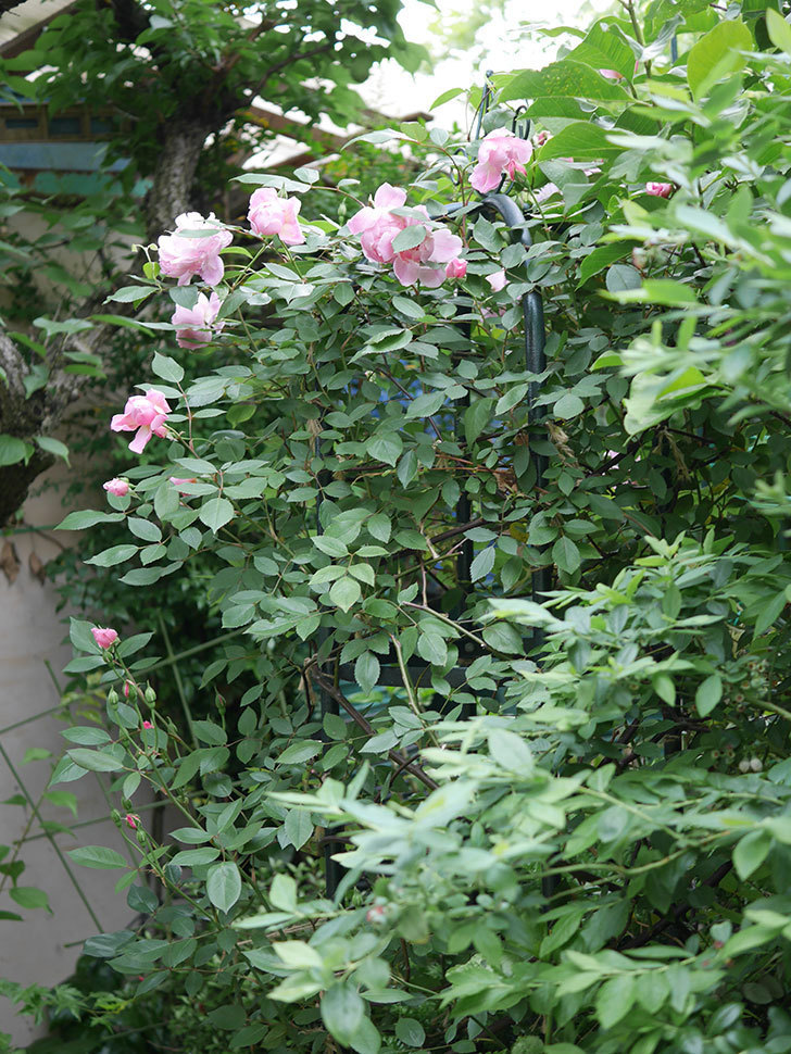 モーティマー・サックラー(ツルバラ)の花が咲いた。2020年-006.jpg