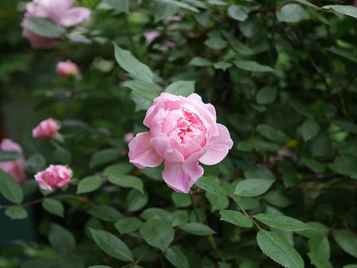 モーティマー・サックラー(ツルバラ)の花が咲いた。2020年-009.jpg