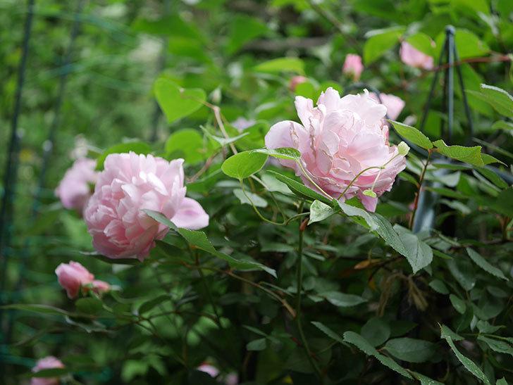 モーティマー・サックラー(ツルバラ)の花が咲いた。2020年-010.jpg