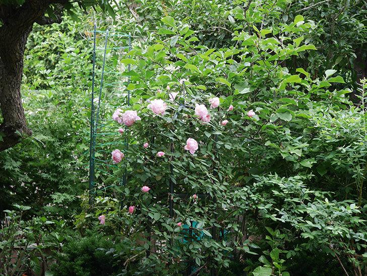 モーティマー・サックラー(ツルバラ)の花が咲いた。2020年-013.jpg