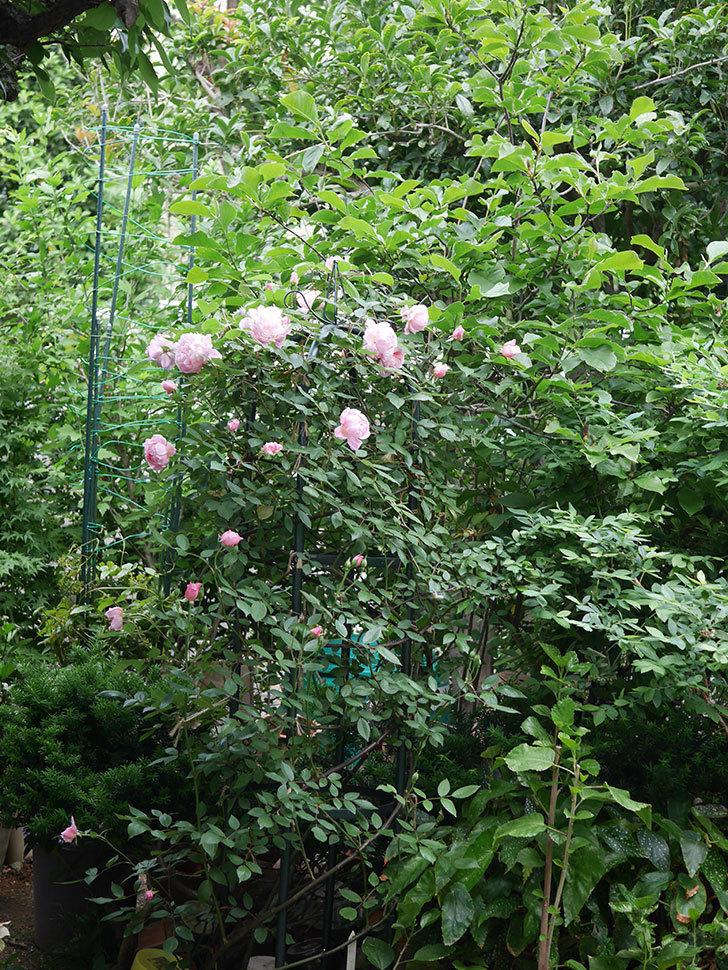 モーティマー・サックラー(ツルバラ)の花が咲いた。2020年-014.jpg