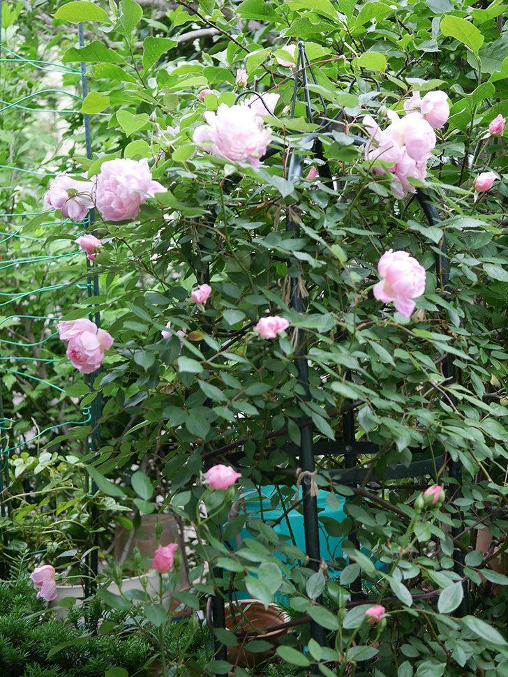 モーティマー・サックラー(ツルバラ)の花が咲いた。2020年-015.jpg