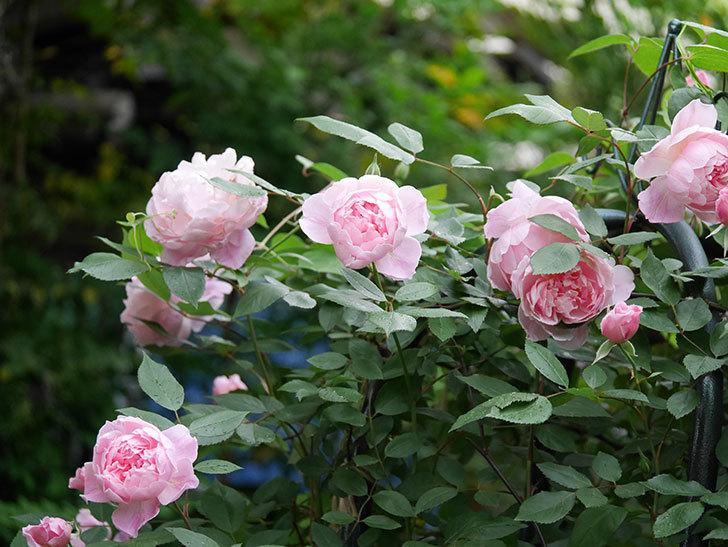 モーティマー・サックラー(ツルバラ)の花が咲いた。2020年-018.jpg