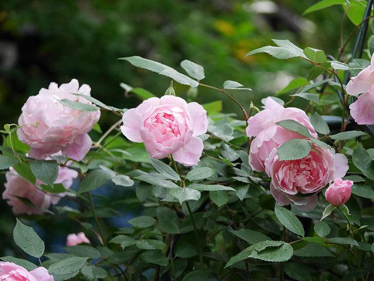 モーティマー・サックラー(ツルバラ)の花が咲いた。2020年-019.jpg