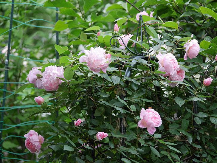 モーティマー・サックラー(ツルバラ)の花が咲いた。2020年-021.jpg
