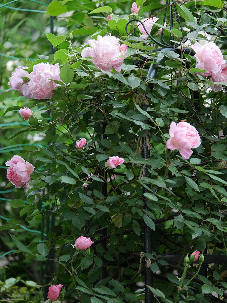 モーティマー・サックラー(ツルバラ)の花が咲いた。2020年-022.jpg