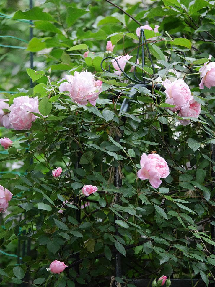 モーティマー・サックラー(ツルバラ)の花が咲いた。2020年-023.jpg