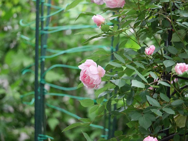 モーティマー・サックラー(ツルバラ)の花が咲いた。2020年-024.jpg