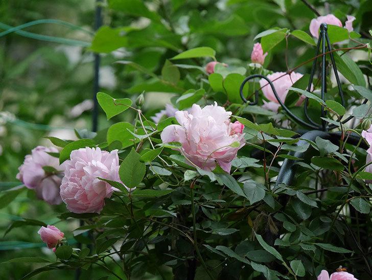 モーティマー・サックラー(ツルバラ)の花が咲いた。2020年-025.jpg