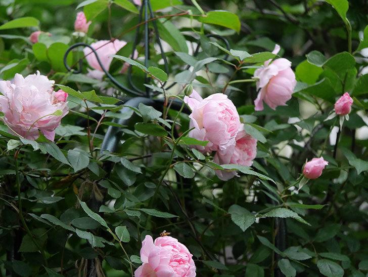 モーティマー・サックラー(ツルバラ)の花が咲いた。2020年-026.jpg