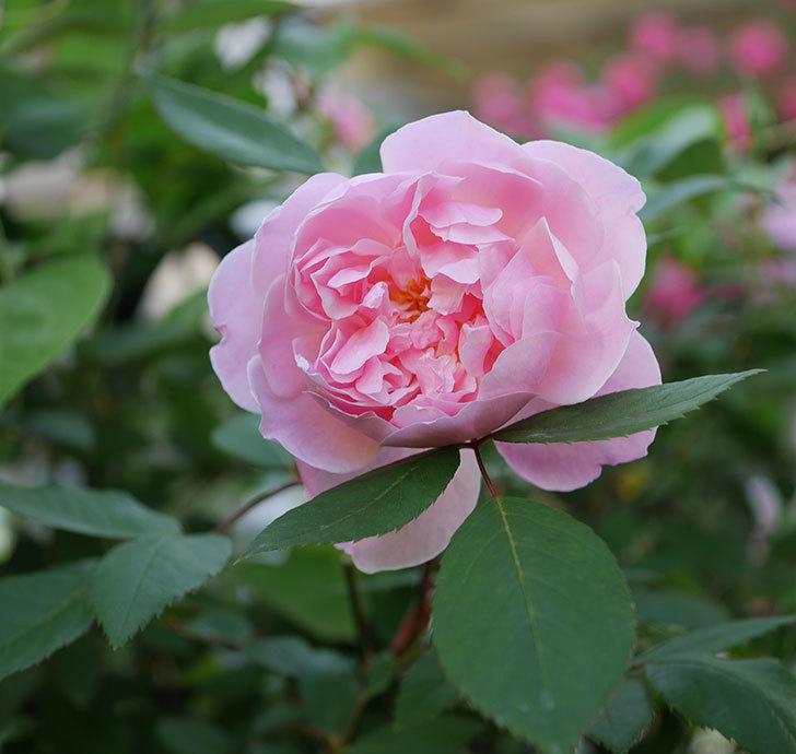 モーティマー・サックラー(ツルバラ)の花が咲いた。2020年-1.jpg