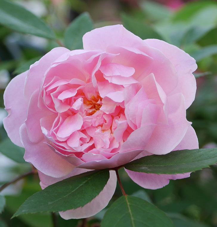 モーティマー・サックラー(ツルバラ)の花が咲いた。2020年-2.jpg
