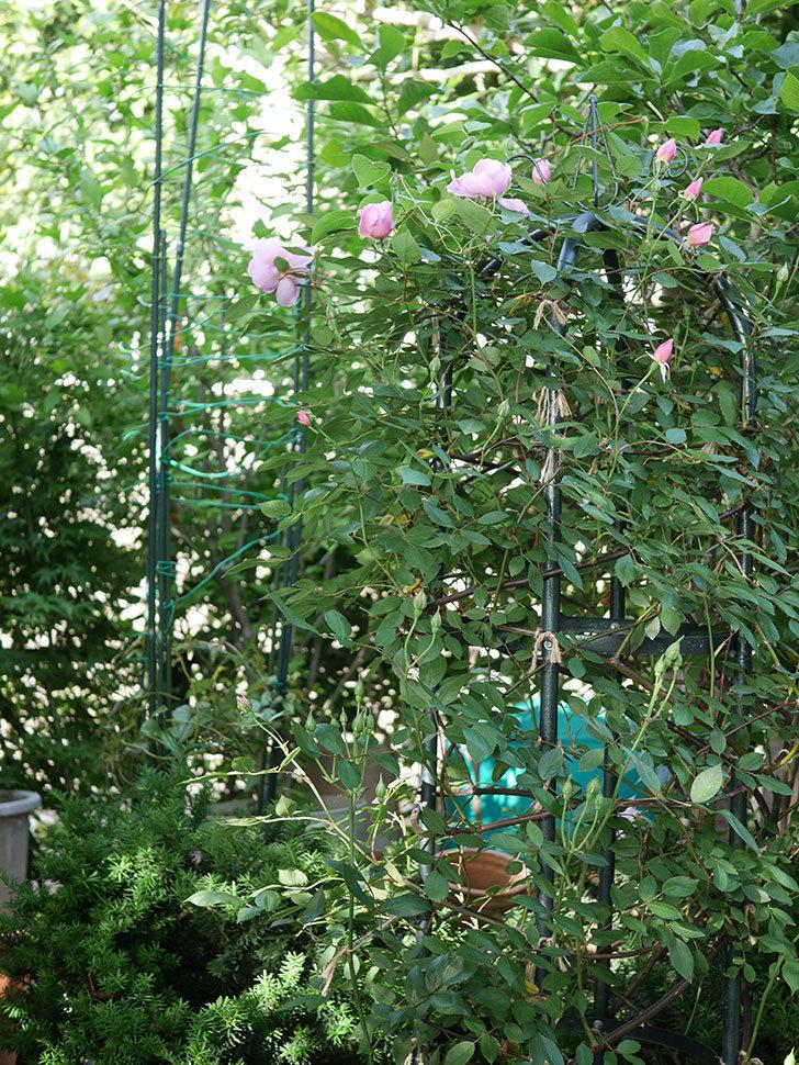 モーティマー・サックラー(ツルバラ)の花が咲いた。2020年-3.jpg