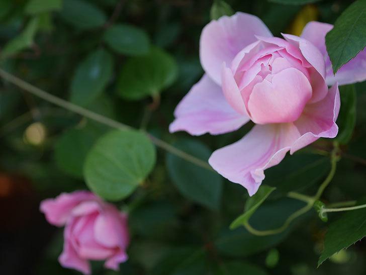 モーティマー・サックラー(ツルバラ)の花が咲いた。2020年-5.jpg