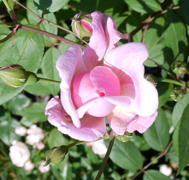 モーティマー・サックラー(ツルバラ)の花が咲きだした。2017年-3.jpg