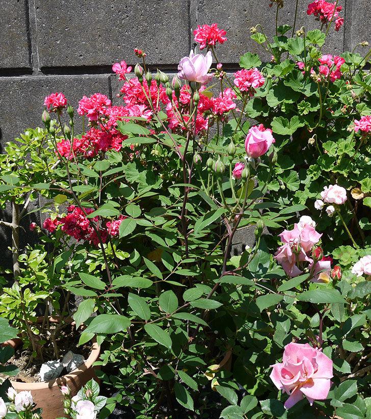 モーティマー・サックラー(ツルバラ)の花が咲きだした。2017年-4.jpg