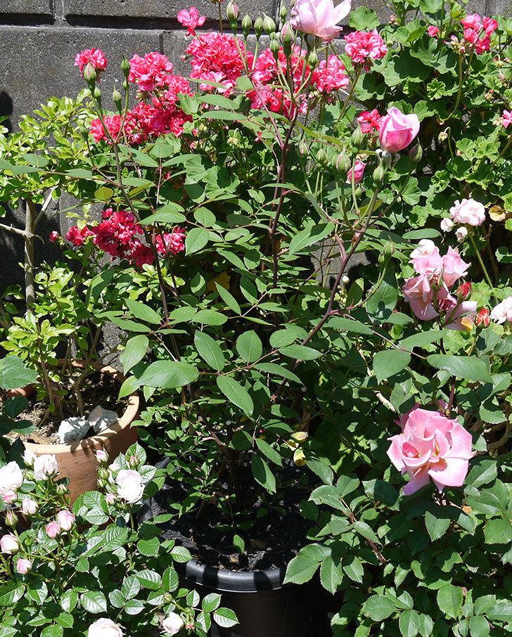 モーティマー・サックラー(ツルバラ)の花が咲きだした。2017年-6.jpg