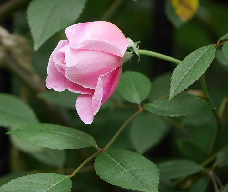 モーティマー・サックラー(ツルバラ)の花が少し咲いた。2019年-1.jpg