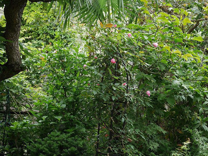 モーティマー・サックラー(ツルバラ)の花が少し咲いた。2019年-11.jpg