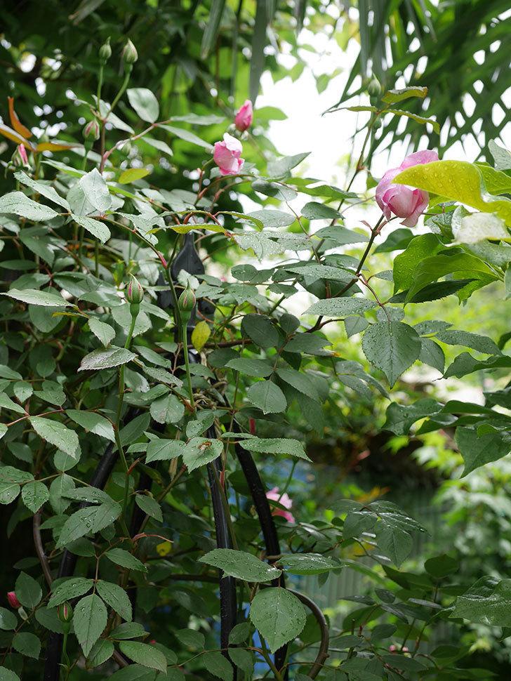 モーティマー・サックラー(ツルバラ)の花が少し咲いた。2019年-7.jpg