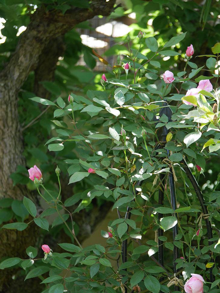 モーティマー・サックラー(ツルバラ)の花が開いて来た。2019年-15.jpg