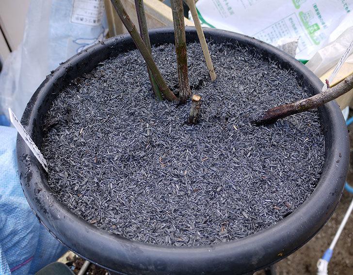 モーティマー・サックラー(ツルバラ)を鉢に植えた。2017年-10.jpg