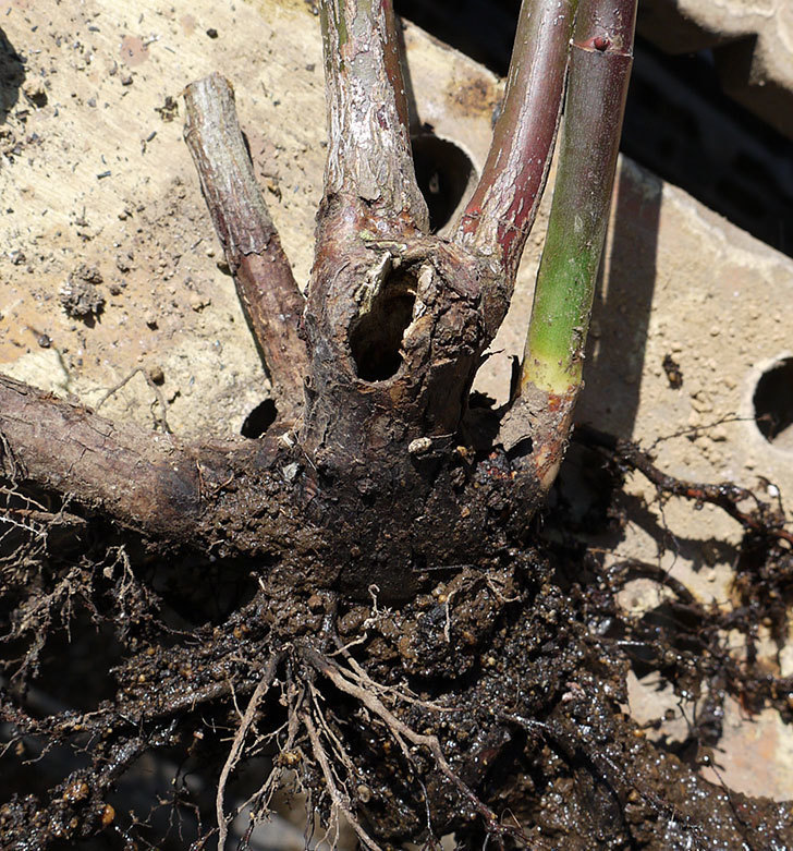 モーティマー・サックラー(ツルバラ)を鉢に植えた。2017年-6.jpg