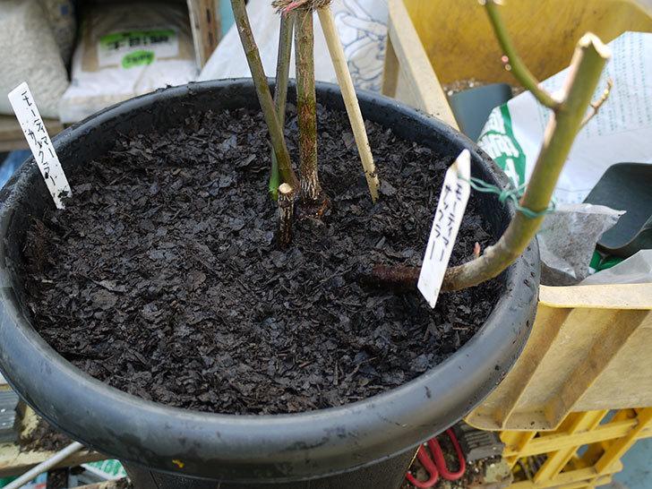 モーティマー・サックラー(ツルバラ)を鉢に植えた。2017年-9.jpg