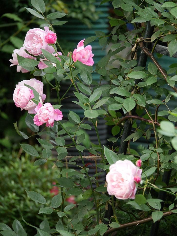 モーティマー・サックラー(Mortimer Sackler)の花がたくさん咲いた。ツルバラ。2020年-001.jpg