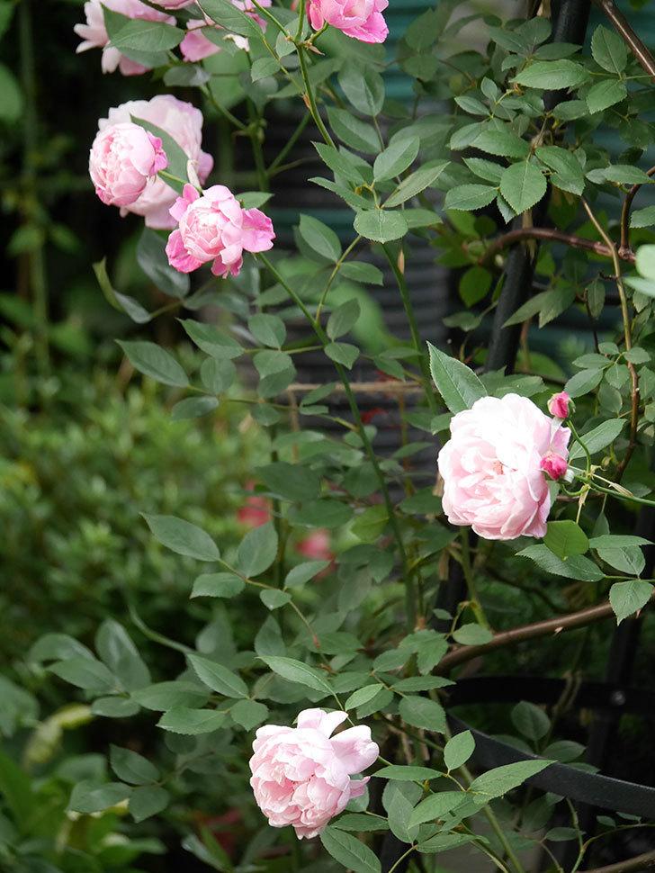 モーティマー・サックラー(Mortimer Sackler)の花がたくさん咲いた。ツルバラ。2020年-002.jpg