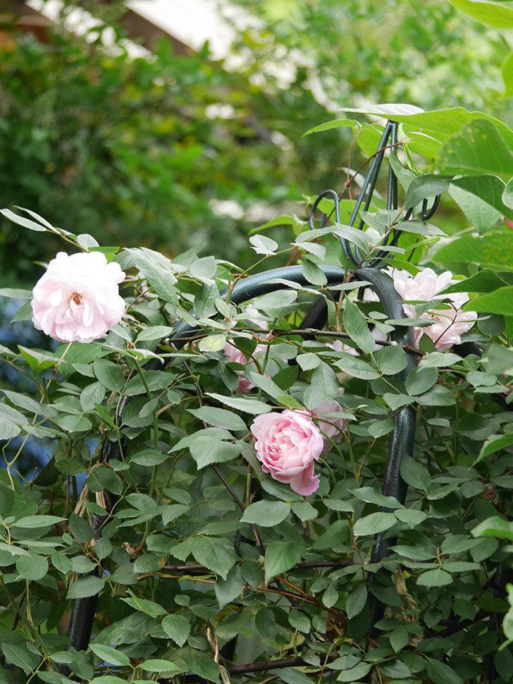 モーティマー・サックラー(Mortimer Sackler)の花がたくさん咲いた。ツルバラ。2020年-003.jpg