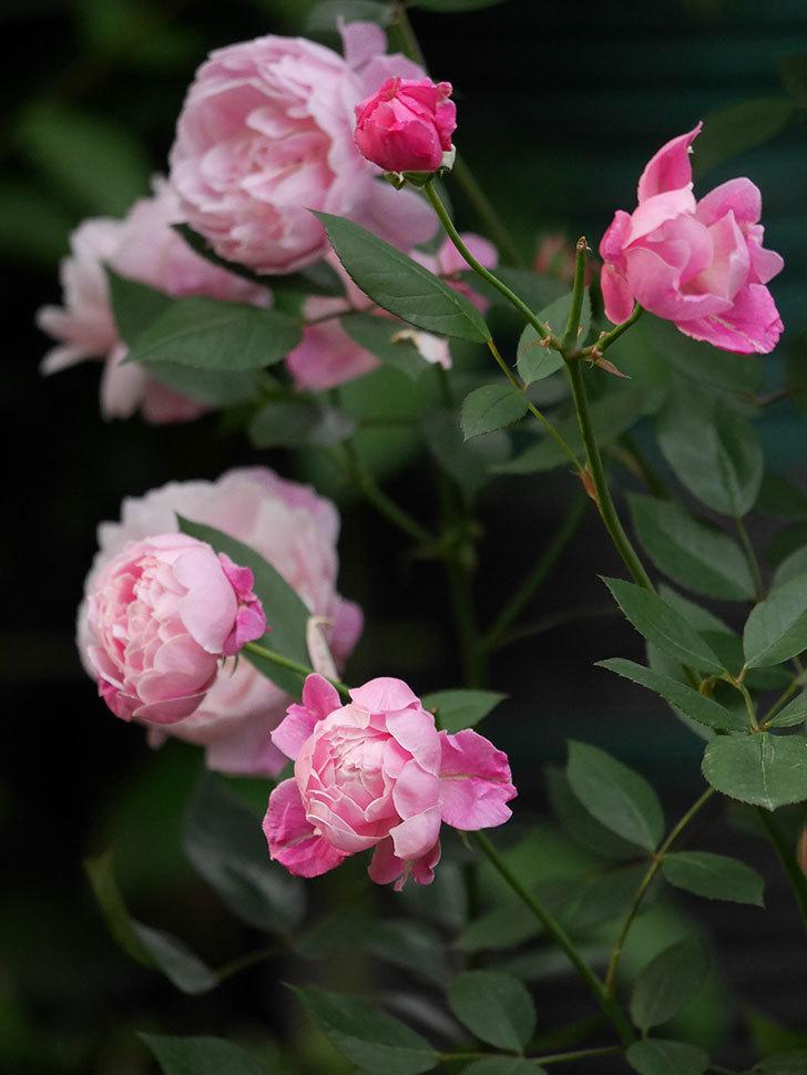 モーティマー・サックラー(Mortimer Sackler)の花がたくさん咲いた。ツルバラ。2020年-004.jpg