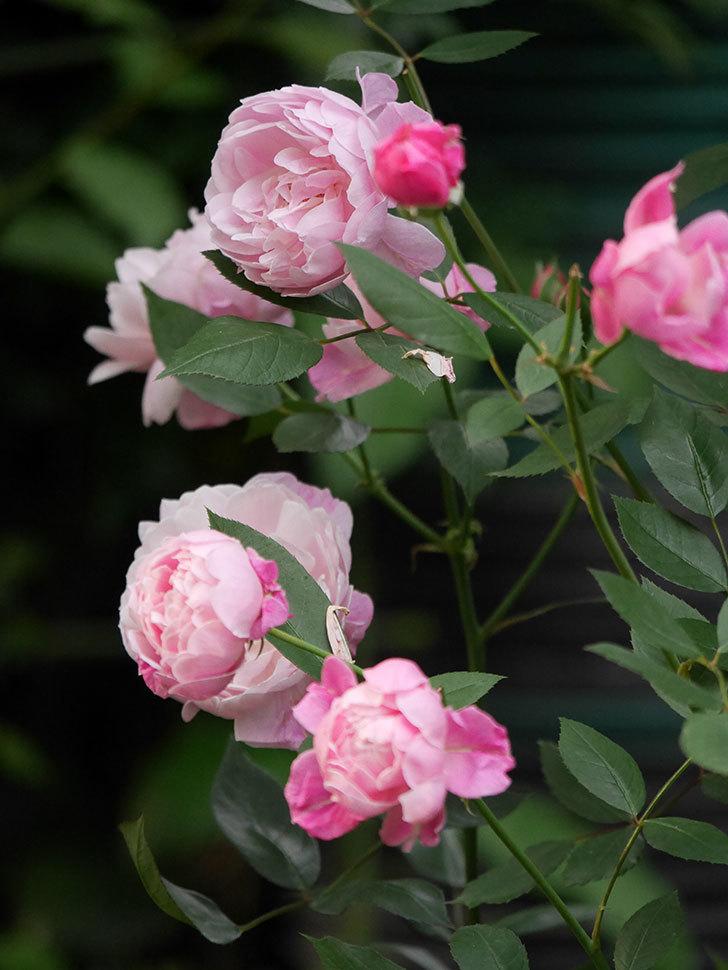 モーティマー・サックラー(Mortimer Sackler)の花がたくさん咲いた。ツルバラ。2020年-005.jpg