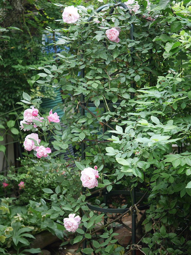 モーティマー・サックラー(Mortimer Sackler)の花がたくさん咲いた。ツルバラ。2020年-007.jpg