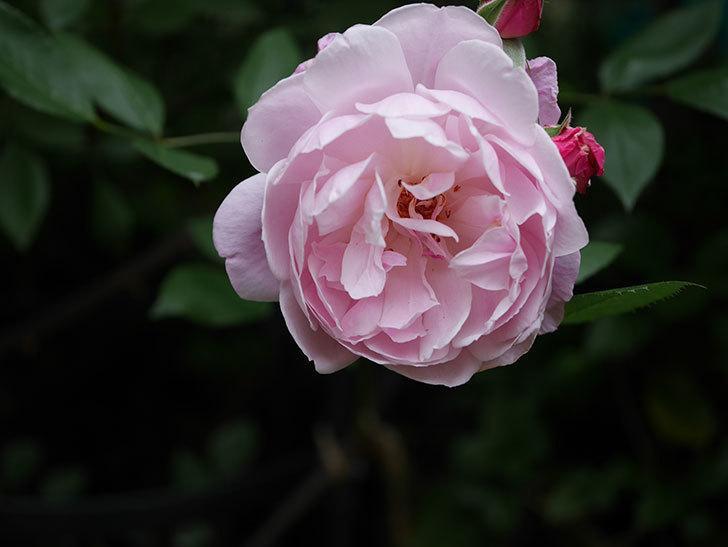 モーティマー・サックラー(Mortimer Sackler)の花がたくさん咲いた。ツルバラ。2020年-008.jpg