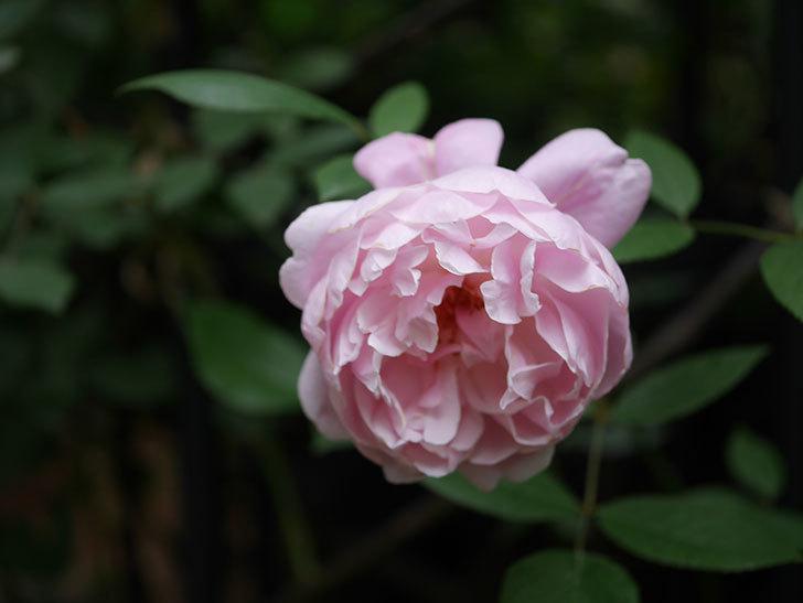 モーティマー・サックラー(Mortimer Sackler)の花がたくさん咲いた。ツルバラ。2020年-009.jpg